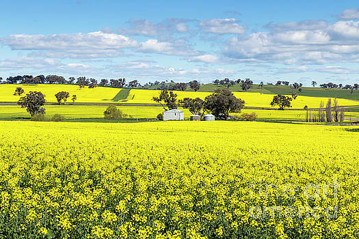 Barn And Silos In A Field Of Flowering Canola Crop by Carl Chapman
