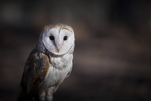 Barn Owl by Andrea Silies