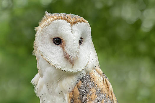 Barn Owl by Angie Rea