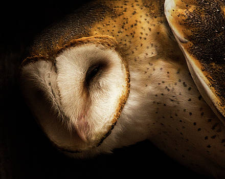 Barn Owl by Bob Cournoyer