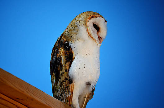 Barn Owl by Diamond Jade