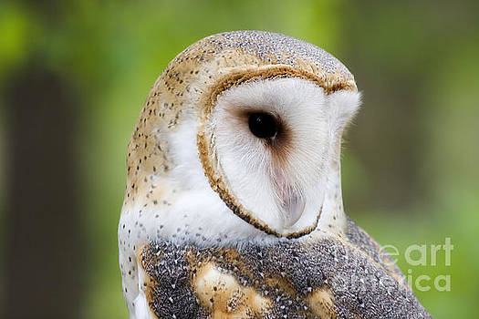 Jill Lang - Barn Owl Head Shot