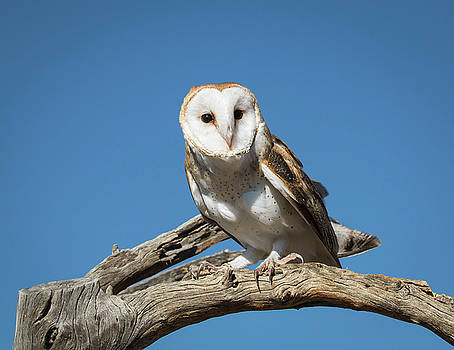 Rosemary Woods-Desert Rose Images - Barn owl-IMG_380917