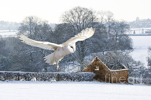 Barn owl in flight by Steev Stamford