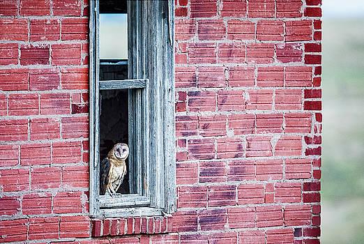 Barn Owl in Window by Donna Caplinger