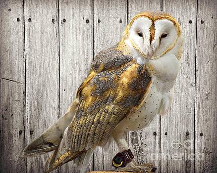 Barn Owl by Kathy M Krause