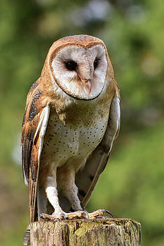Barn Owl by Keith Boone