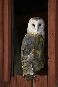 Barn Owl looking back from a barn window by Paul Burwell