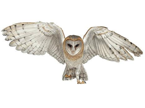 Barn Owl by Nigel Follett