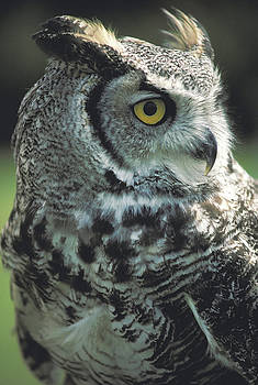 Barn Owl on Indiana Farm by Carl Purcell