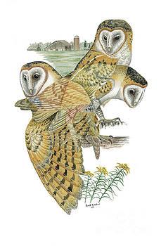 Barn Owl by Scott Rashid