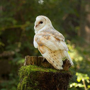 Barn Owl by Sue Fulton