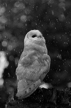 Barn Owl Watching Snowflakes by Sue Fulton
