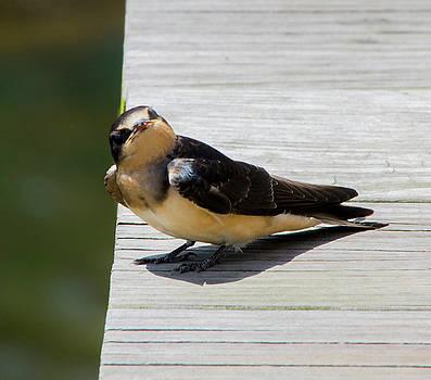 Barn Swallow 2017 2 by Buddy Scott