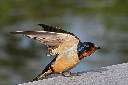 Byron Varvarigos - Barn Swallow