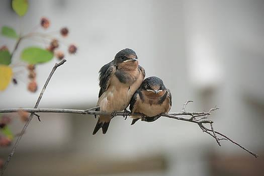 Barn Swallow Fledglings by Jack Nevitt