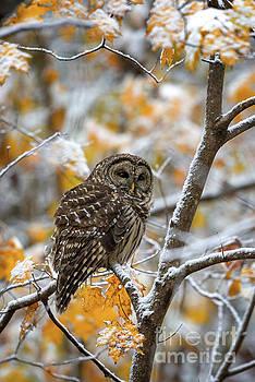 Barred Owl by Anthony Heflin