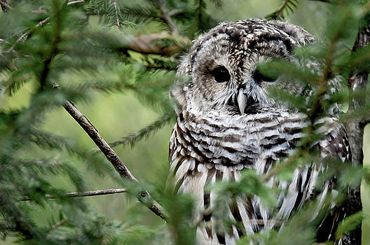 Barred Owl attemping to blend in by Tracy Winter