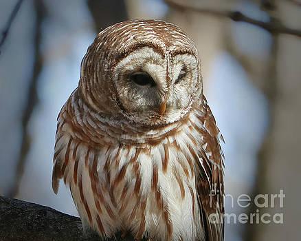 Barred Owl Beauty by Anita Oakley