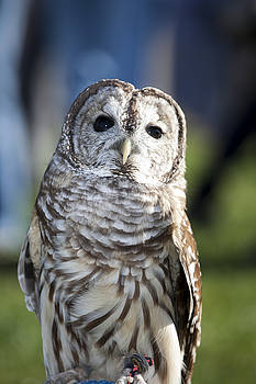 Barred Owl by Christina Durity