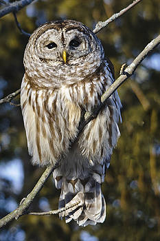 Christine Kapler - Barred Owl