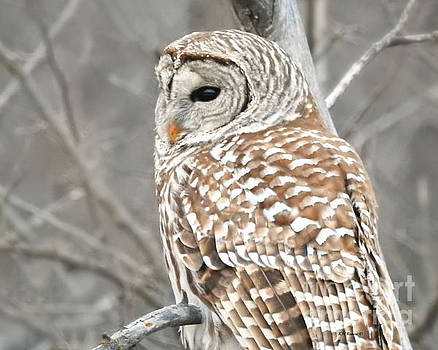 Barred Owl Close-Up by Kathy M Krause