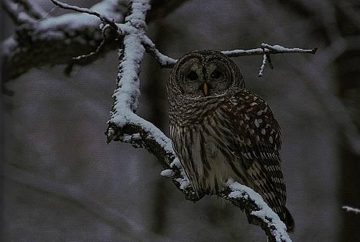 Diane Kurtz - Barred Owl