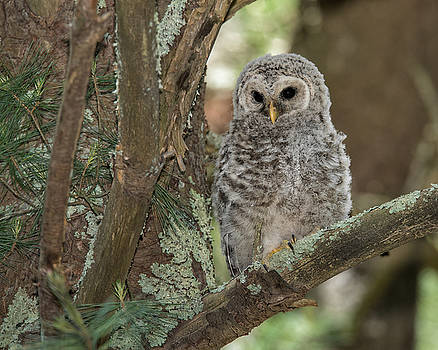 Barred Owl Fledgling by Christopher Ciccone