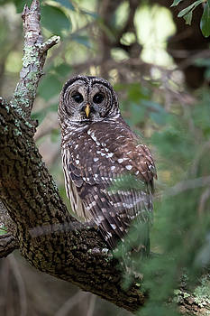 Barred Owl by George DeCamp