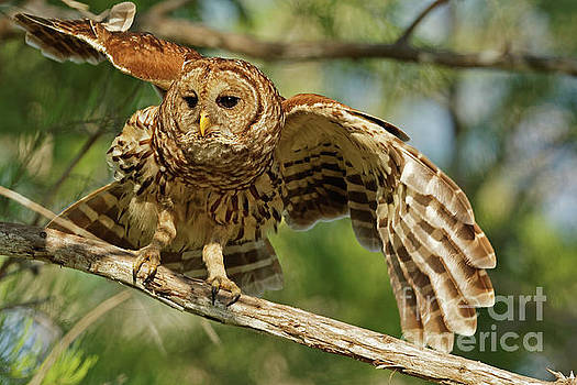 Barred Owl Flight by Natural Focal Point Photography