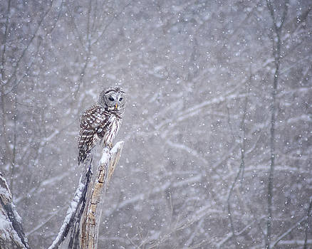 Barred Owl Hunting by Greg Grupenhof