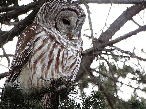 Barred Owl Hunting by Rebecca Overton