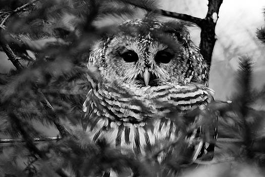 Barred Owl in Black and White by Tracy Winter