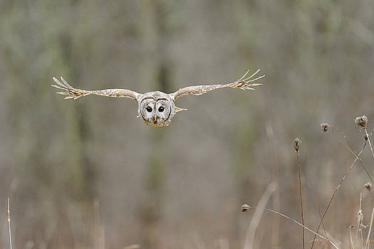 Barred Owl in Flight II by Scott  Linstead