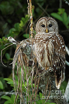 Barred Owl In Florida by Natural Focal Point Photography