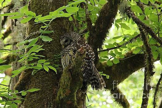 Barred Owl in Mossy Tree by Nick Gustafson