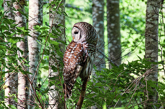 Peggy Collins - Barred Owl in the Alder Tree Forest
