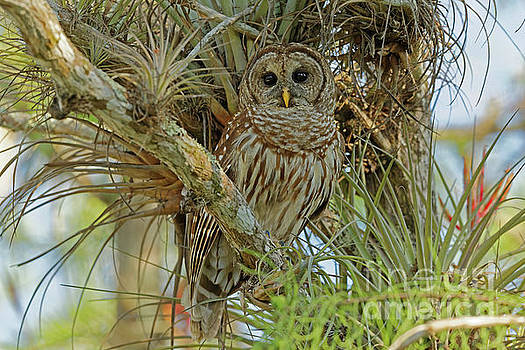 Barred Owl in The Everglades by Natural Focal Point Photography