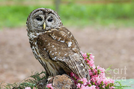 Jill Lang - Barred Owl in the Flowers
