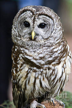 Jill Lang - Barred Owl