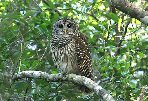 Barred  Owl by John Rowe