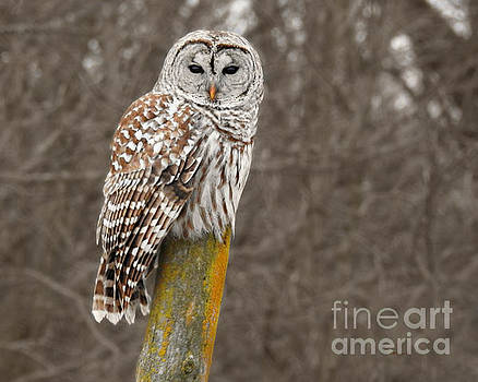 Barred Owl by Kathy M Krause