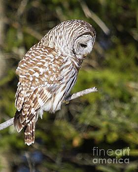 Barred Owl Listening by Lloyd Alexander