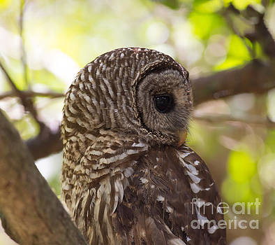 Barred Owl Looking Over Shoulder by Natural Focal Point Photography
