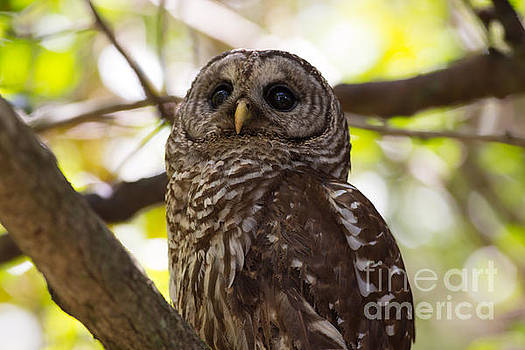 Barred Owl Looking Up Into the Canopy by Natural Focal Point Photography