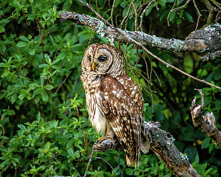 Barred Owl by M C Hood