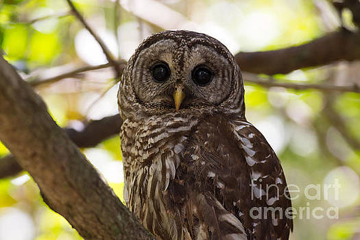 Barred Owl  by Natural Focal Point Photography