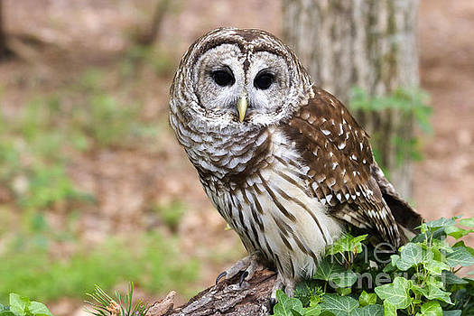 Jill Lang - Barred Owl on a Log