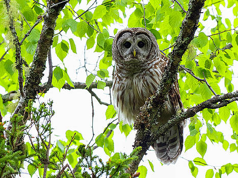 Barred Owl Perched in Beech Tree by Scott Leslie