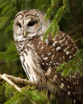 Barred Owl by Ron  McGinnis